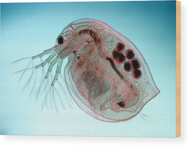 Water Flea Daphnia Magna Wood Print By Ted Kinsman