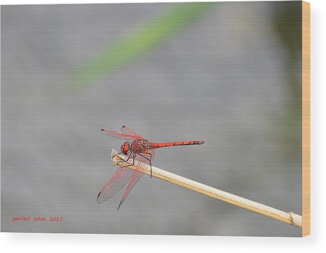 Wood Print featuring the photograph Water Insect by Zohar Gavrieal