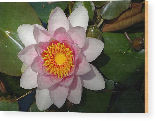 Garden Wood Print featuring the photograph Water Lilly Beauty by Veron Miller