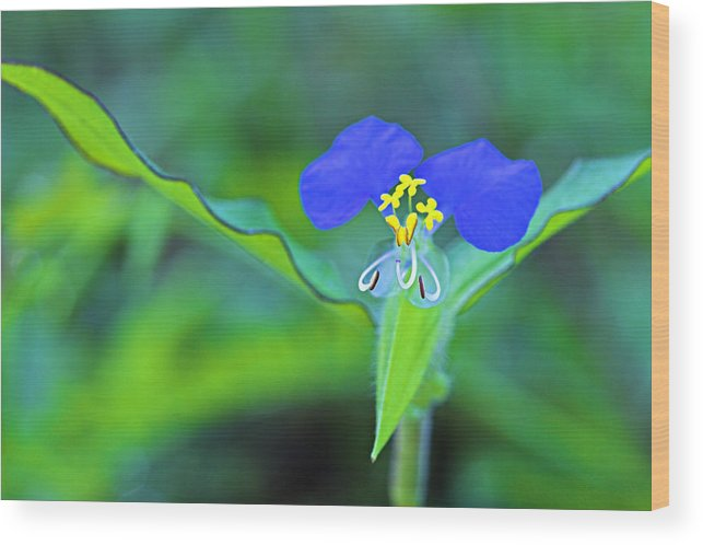 Flower Wood Print featuring the photograph Watergrass Flower-st Lucia by Chester Williams