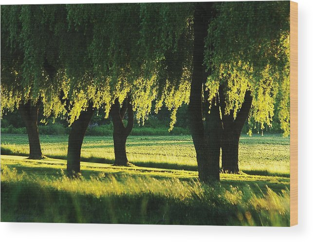 Willow Wood Print featuring the photograph Weeping Willows by Steve Somerville