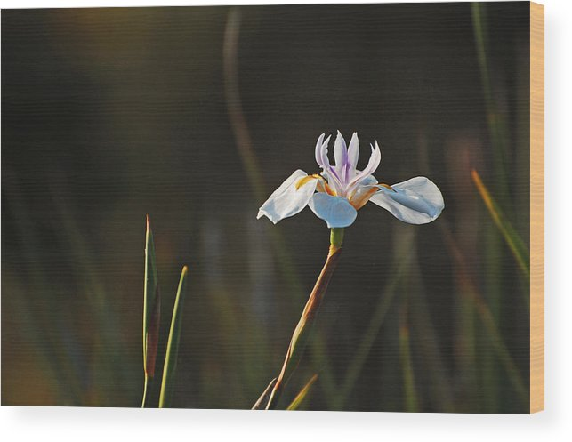 Flower Wood Print featuring the photograph White African Iris by Jean Booth