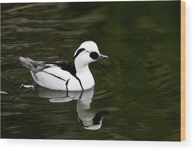 Duck Wood Print featuring the photograph White And Black Duck by Douglas Barnett