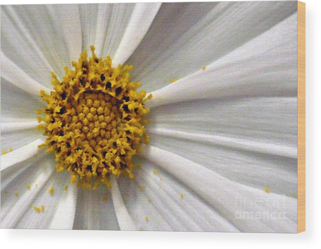 Flower Wood Print featuring the photograph White Cosmos by Jacqueline Milner