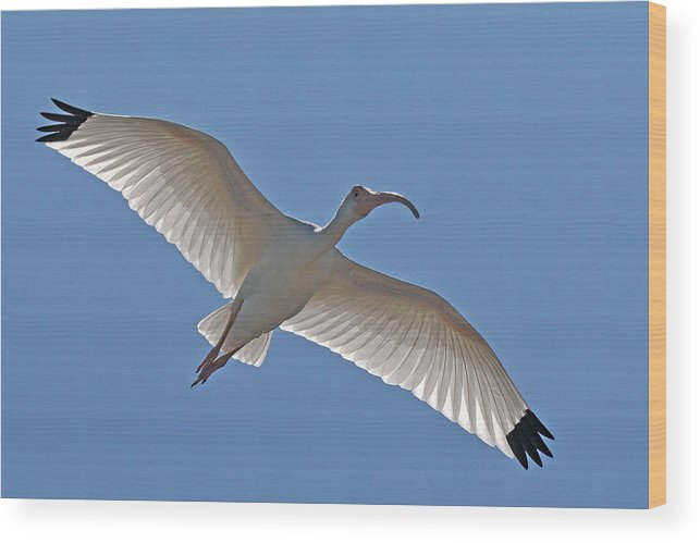 Ibis Wood Print featuring the photograph White Ibis Soaring by Alan Lenk