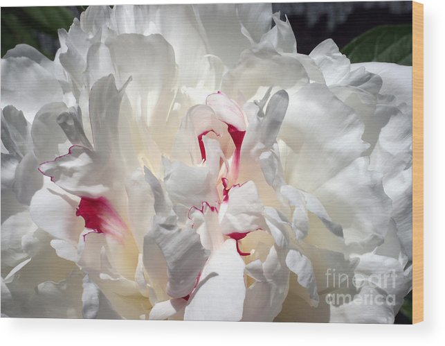 Peony Wood Print featuring the photograph White Peony And Red Highlights by Steve Augustin