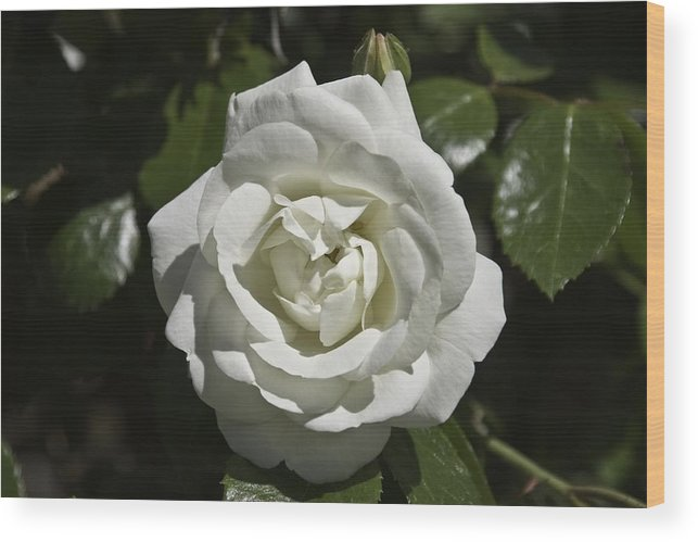 Flower Wood Print featuring the photograph White Rose by Steve Kenney