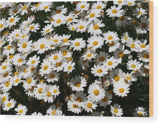 White Wood Print featuring the photograph White Summer Daisies by Christine Till