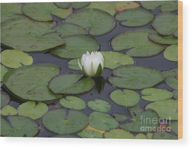 Flower Wood Print featuring the photograph White Water Lily by Janice Keener
