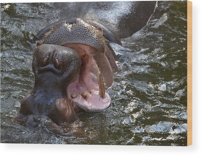 Hippos Wood Print featuring the photograph Wide Load by Jacqueline Howe