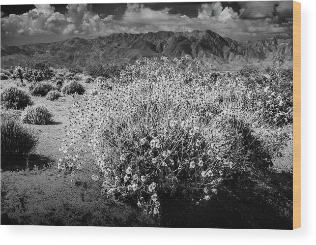 Art Wood Print featuring the photograph Wild Desert Flowers Blooming In Black And White In The Anza-borrego Desert State Park by Randall Nyhof