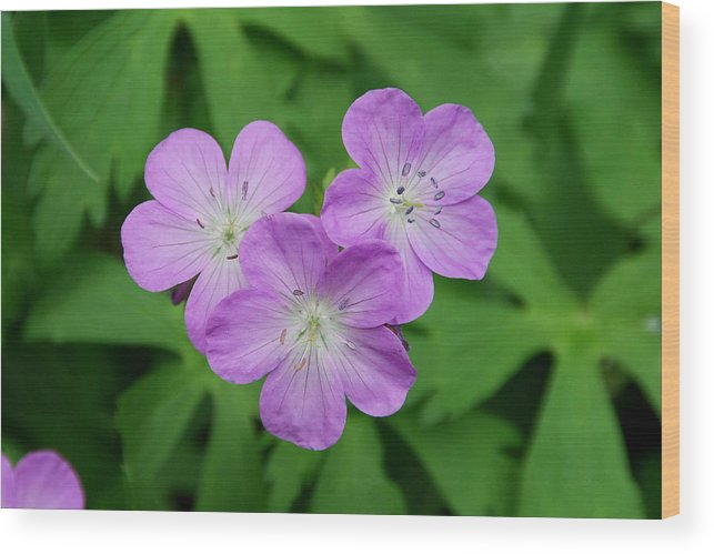 Wild Geranium Wood Print featuring the photograph Wild Geranium Triplet by Alan Lenk