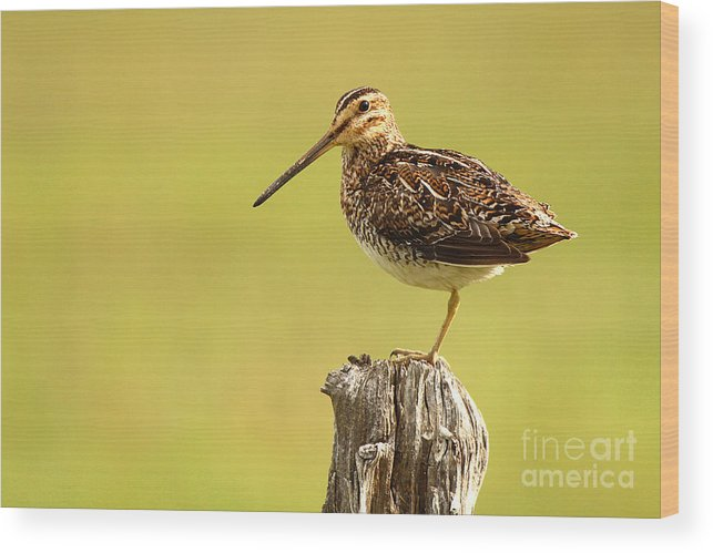 Snipe Wood Print featuring the photograph Wilson's Snipe On Morning Perch by Max Allen