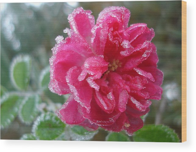 Rose Wood Print featuring the photograph Winter Rose by Susan Baker