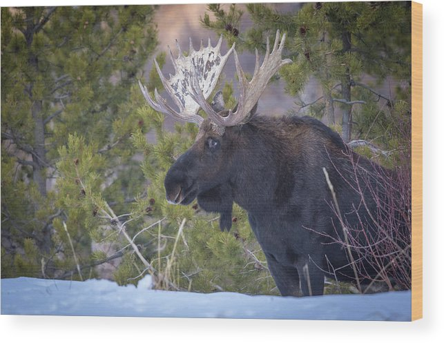 Moose Wood Print featuring the photograph Winter's Arrival by Kevin Dietrich