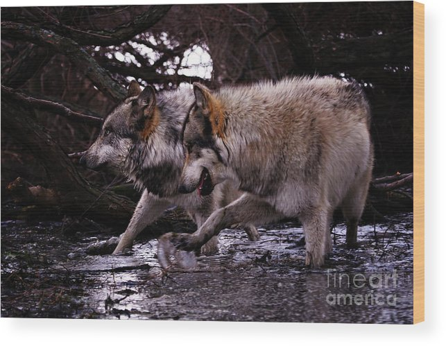 Wolf Wood Print featuring the photograph Wolves Synchronized Dancing by Yair Leibovich