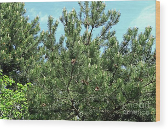 Pine Trees Wood Print featuring the photograph Woodland Pines by Kevin Richardson