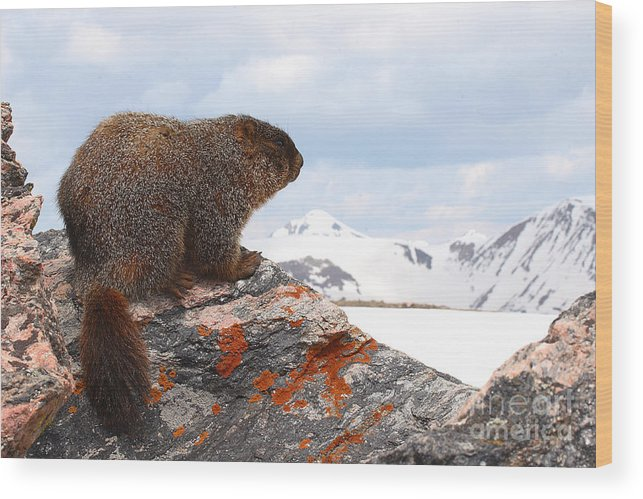 Marmot Wood Print featuring the photograph Yellow-bellied Marmot Enjoying The Mountain View by Max Allen