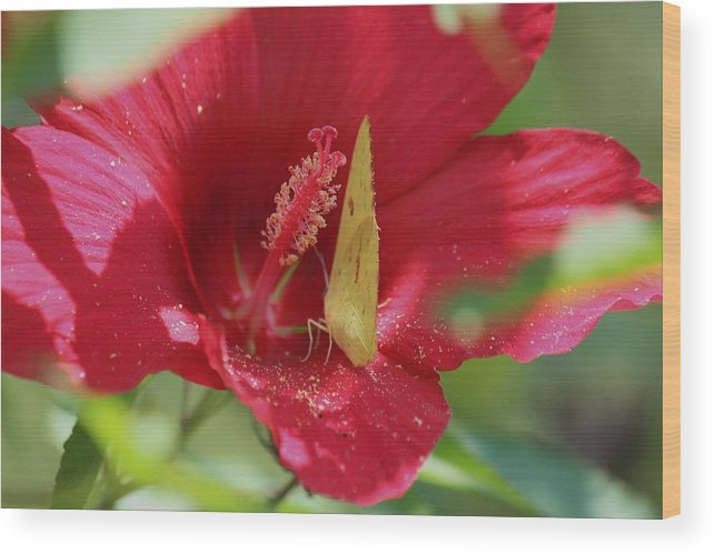 Butterfly Wood Print featuring the photograph Yellow Butterfly On Red Hibiscus by Nida Chioco