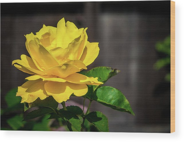 California Wood Print featuring the photograph Yellow Rose Of Los Gatos by Randy Herring