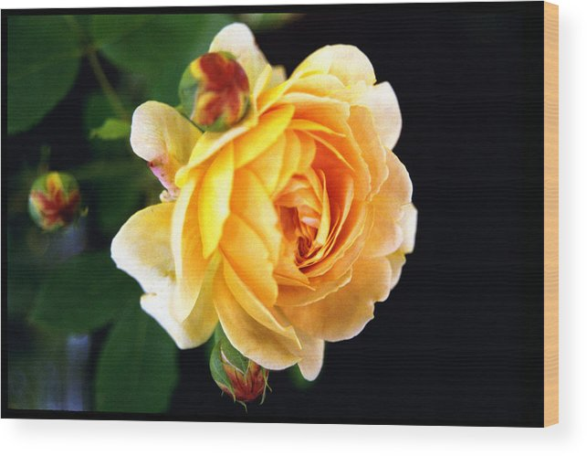 Rose Wood Print featuring the photograph Yellow Rose by Paul Trunk