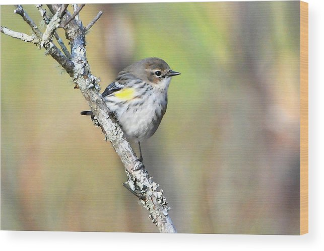 Warbler Wood Print featuring the photograph Yellow-rumped Warbler by Alan Lenk
