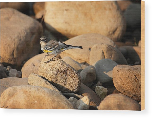 Yellow-rumped Warbler Wood Print featuring the photograph Yellow Rumped Warbler On River Rocks by Michael Dougherty