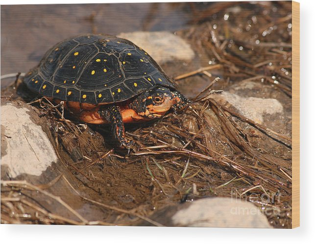 Turlte Wood Print featuring the photograph Yellow-spotted Turtle Crawling Through Wetland by Max Allen