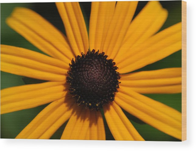 Sunflower Wood Print featuring the photograph You Are My Sunshine by Mandy Wiltse