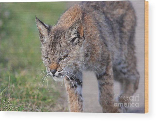 Animal Wood Print featuring the photograph Young Bobcat 03 by Wingsdomain Art and Photography