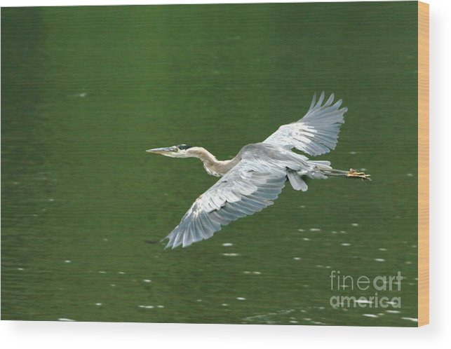 Landscape Nature Wildlife Bird Crane Heron Green Flight Ohio Water Wood Print featuring the photograph Young Great Blue Heron Taking Flight by Dawn Downour