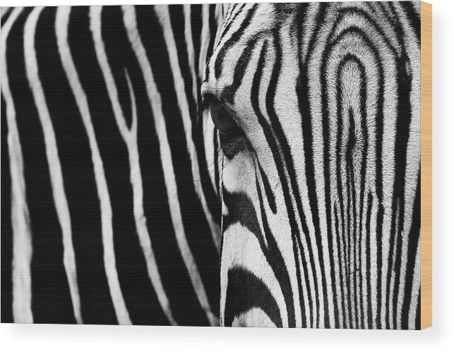 Zebra Wood Print featuring the photograph Eye Of The Zebra by Vincent Wille