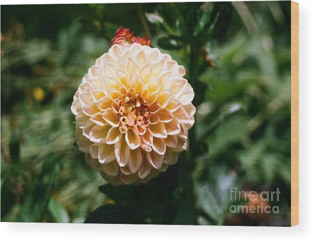 Zinnia Wood Print featuring the photograph Zinnia by Dean Triolo