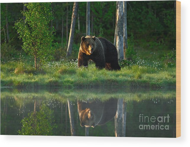 Big Wood Print featuring the photograph Big Brown Bear Walking Around Lake In by Ondrej Prosicky