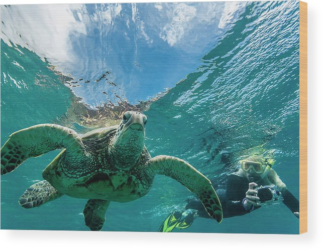 Capturing An Image Wood Print featuring the photograph Green Sea Turtle Chelonia Mydas 1 by Michael Nolan / Robertharding