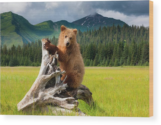 Brown Bear Wood Print featuring the photograph Brown Bear, Lake Clark National Park by Mint Images/ Art Wolfe