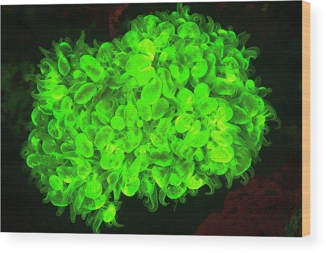 Asia Wood Print featuring the photograph Natural Occurring Fluorescence by Stuart Westmorland
