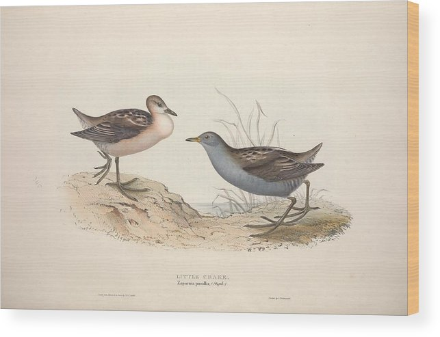 Nature Wood Print featuring the painting Different Types Of Birds Illustrated By Charles Dessalines D Orbigny 1806-1876 21 by Charles Dessalines D Orbigny