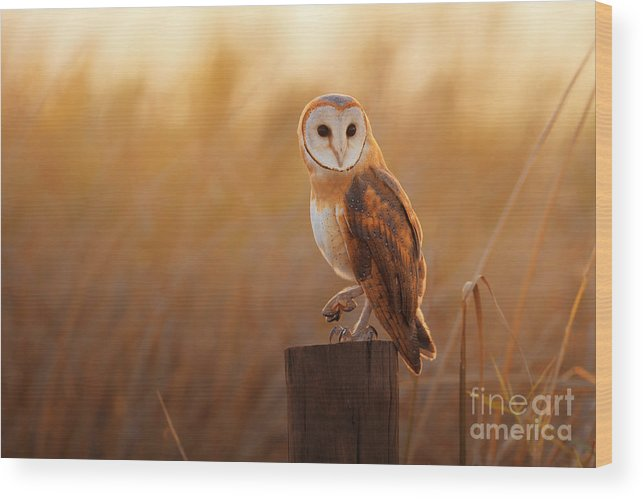 Feather Wood Print featuring the photograph A Beautiful Barn Owl Perched On A Tree by Duangnapa b