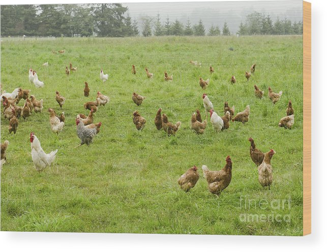 Country Wood Print featuring the photograph A Group Of Free Range Chickens Feed In by Tfoxfoto