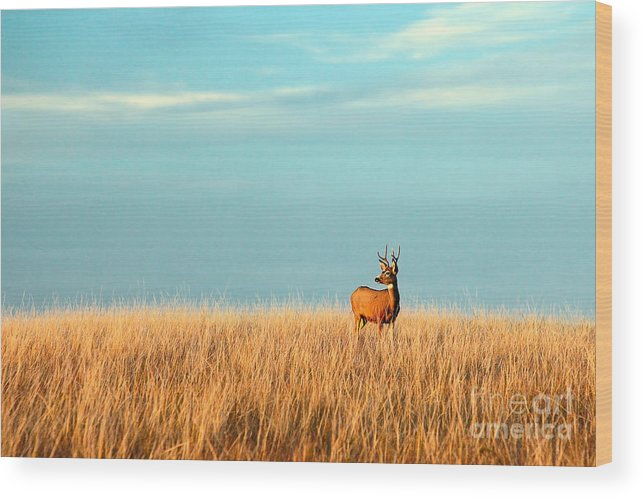 Beauty Wood Print featuring the photograph A Mule Deer Buck Stands In A Tall Bed by Todd Klassy