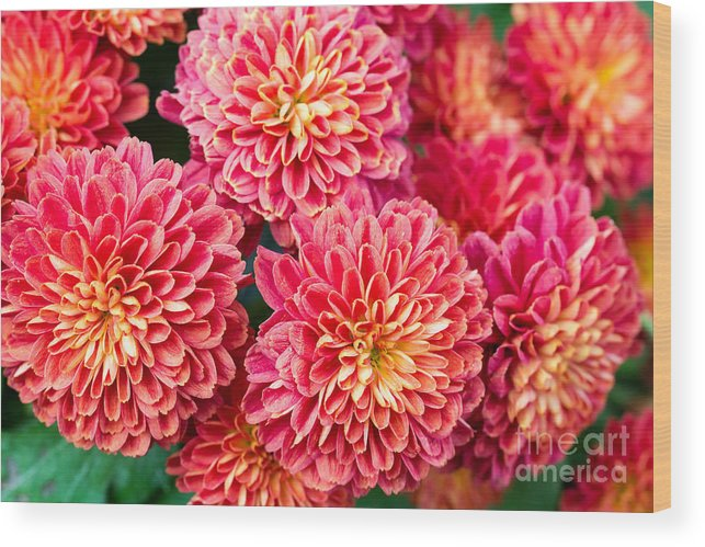 Delicate Wood Print featuring the photograph Beautiful Of Red Garden Dahlia Flower by Suwat Wongkham