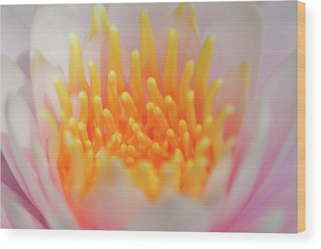 White Water Lily Wood Print featuring the photograph Blooming Virgins by Az Jackson