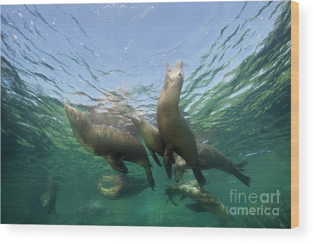 California Sea Lion Wood Print featuring the photograph California Sea Lion by Reinhard Dirscherl/science Photo Library