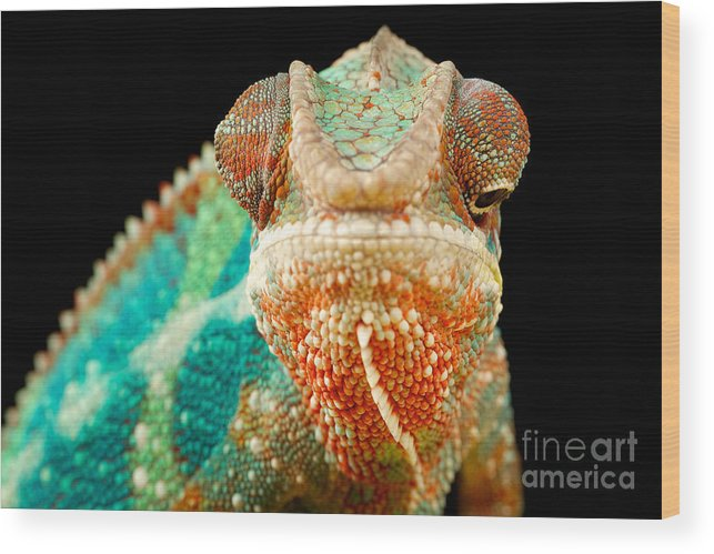 Small Wood Print featuring the photograph Chameleon by Mark Bridger