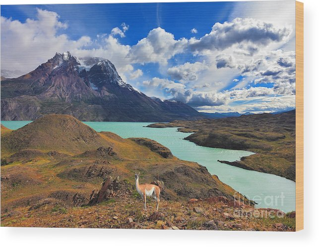 Guanaco Wood Print featuring the photograph Early Autumn In Patagonia. National by Kavram