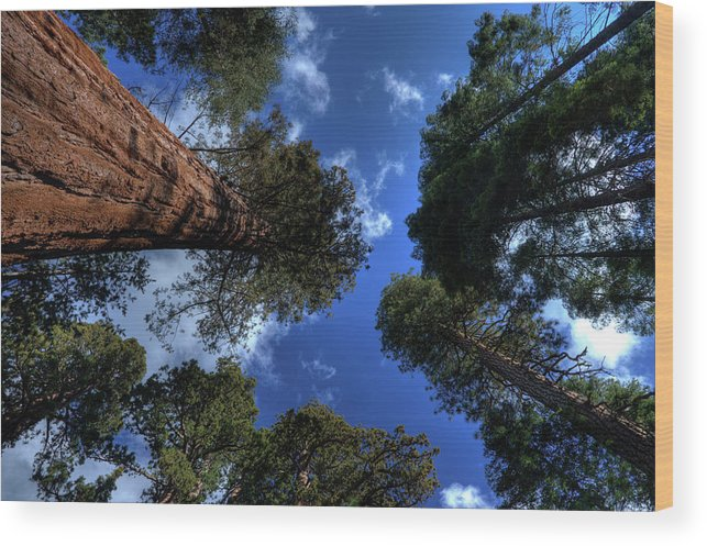 Sequoia Tree Wood Print featuring the photograph Giant Sequoias - 2 by Rhyman007