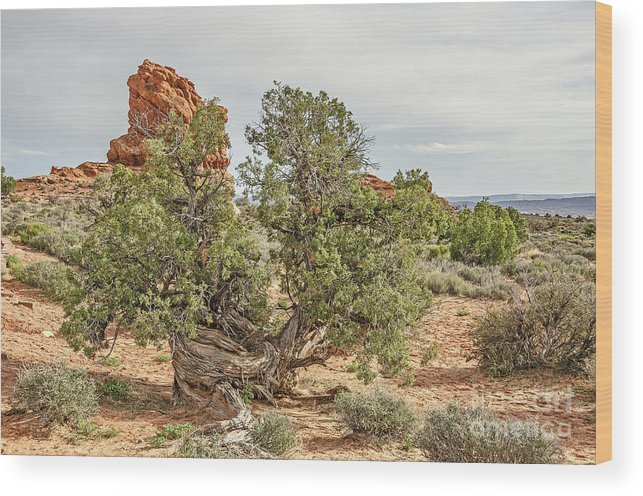 Arches National Park Wood Print featuring the photograph Gnarled Juniper Trees Against Red Sandstone by Sue Smith