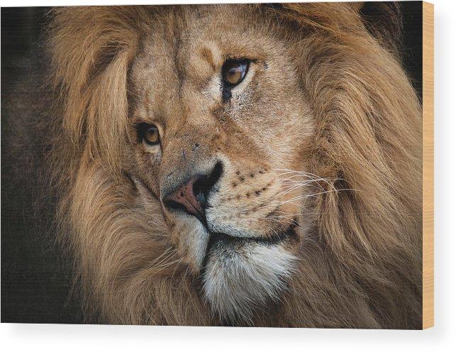 b2e7ac7456ee8e Animal Themes Wood Print featuring the photograph Leo - Male Lion Head,  Angled Close-
