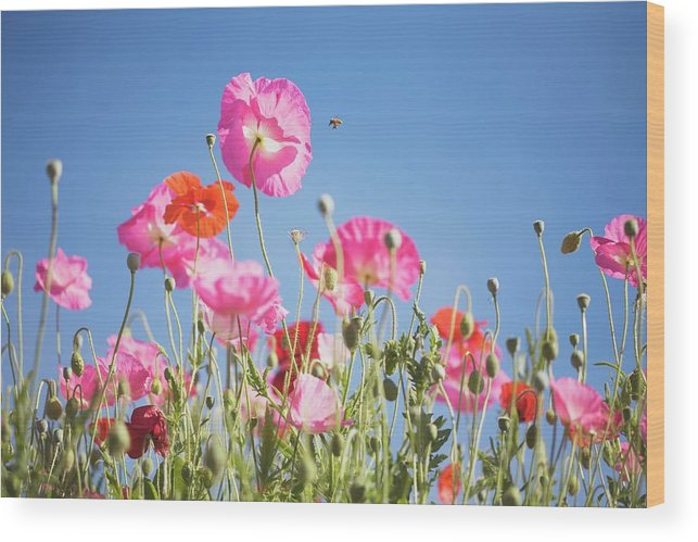 Snow Wood Print featuring the photograph Pink Flowers Against Blue Sky by Design Pics/craig Tuttle